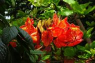 Red African Tulip Tree 5 Seeds- Showy Flowers
